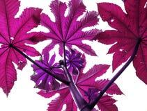 Lila filialer av växter blommar träd som ser upp på en vitisolator Arkivbild