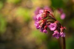 Lila flor, Syringa vulgaris, en advierta la luz de la tarde, en un jardín de la primavera, fondo borroso imagen de archivo