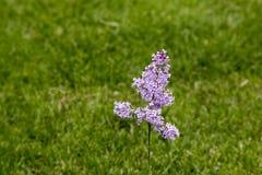 Lila floreciente imagen de archivo libre de regalías