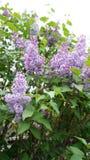 Lila floreciente Fotos de archivo