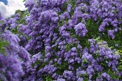 Lila floreciente Fotografía de archivo libre de regalías
