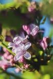 Lila floreciente Fotos de archivo libres de regalías