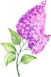 Lila floreciente de la acuarela en un fondo blanco Foto de archivo