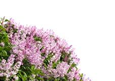 Lila floreciente del resorte Imagen de archivo