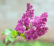 Lila floreciente en al aire libre, primer de la ramita Imagen de archivo