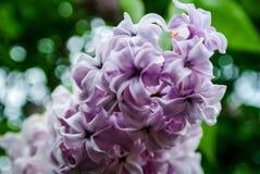 Lila floreciente en el jardín Fotografía de archivo libre de regalías