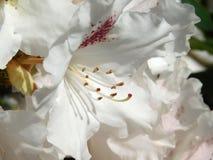 Lila floreciente en la primavera Imagenes de archivo