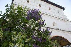 Lila floreciente en primavera Imágenes de archivo libres de regalías