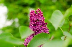 Lila floreciente Manojo p?rpura de d?a de la lila en mayo fotos de archivo
