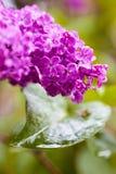 Lila floreciente, primer Fotografía de archivo