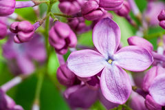 Lila floreciente violeta sobre fondo verde fotos de archivo libres de regalías