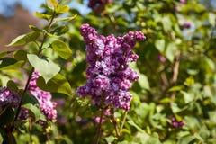 Lila Flores púrpuras coloridos de las lilas con las hojas verdes Fotos de archivo