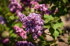 Lila Flores púrpuras coloridos de las lilas con las hojas verdes Fotografía de archivo libre de regalías