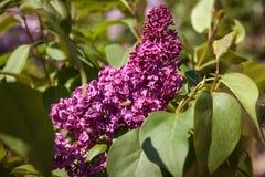 Lila Flores púrpuras coloridos de las lilas con las hojas verdes Fotos de archivo libres de regalías