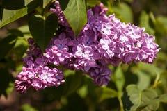 Lila Flores púrpuras coloridos de las lilas con las hojas verdes Imagen de archivo libre de regalías