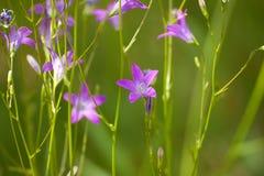 Lila flower Royalty Free Stock Photo