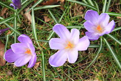 Lila flowers - saffron Stock Photos