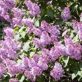Lila Fr?hlingsblumen-Nahaufnahmeansicht stockbilder