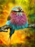 Lila gången mot rullfågel   Arkivbilder