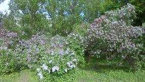 Lila Garten in Moskau stock footage