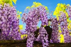 Lila Glyzinie von Blumen gegen den blauen Himmel Lizenzfreie Stockbilder