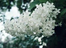 lila gräsplan för vita blommor lämnar bokehbakgrund Arkivbilder