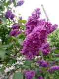 Lila härlig blomma Royaltyfri Foto