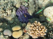 Lila havsanemon Fotografering för Bildbyråer