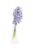 Lila hyacint i vasen som isoleras över vit Royaltyfri Bild