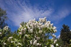 Lila i botaniska trädgården Arkivbild