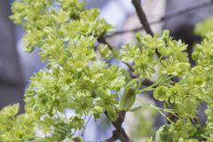 Lila inflorescence Arkivfoton
