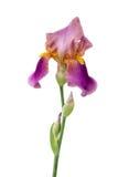 Lila iris på en vit bakgrund royaltyfria bilder