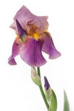 Lila iris på en vit bakgrund Arkivbild