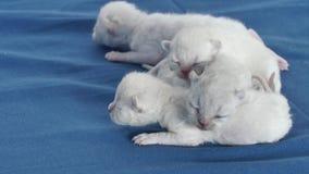 Lila Kätzchen des Britisch Kurzhaars, Neugeborene auf blauem Hintergrund stock video footage
