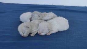 Lila Kätzchen des Britisch Kurzhaars, Neugeborene auf blauem Hintergrund stock footage