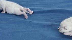 Lila Kätzchen des Britisch Kurzhaars, Neugeborene auf blauem Hintergrund, Nahaufnahme stock video footage
