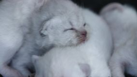 Lila Kätzchen des kleinen Britisch Kurzhaars, schwarzer Hintergrund stock video footage