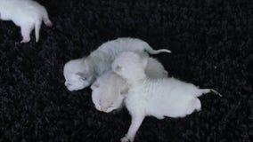 Lila Kätzchen des kleinen Britisch Kurzhaars, schwarzer Hintergrund stock video