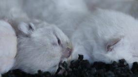 Lila Kätzchen des kleinen Britisch Kurzhaars, schwarzer Hintergrund stock footage