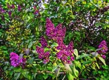 Lila Knospen und Blumen Stockbilder