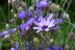 Lila Kornblumen (Centaurea) Lizenzfreie Stockbilder