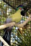 Lila-krönad Turaco i fångenskap Royaltyfria Bilder