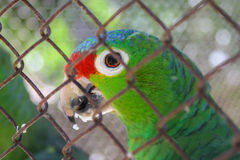 Lila-krönade amazon Arkivfoton