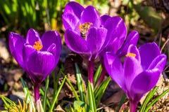 Lila Krokusse und die Biene im Garten, Nahaufnahme lizenzfreie stockfotos