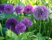 Lila kwiat piłka Obraz Royalty Free