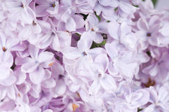 lila kwitnąca gałązka Zdjęcia Stock