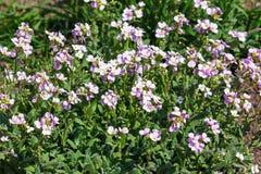 Lila låga blommor växer i trädgården royaltyfri foto