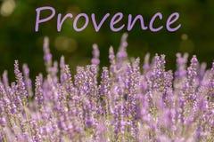Lila lavendel i den franska Provence royaltyfria foton