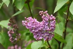 Lila Lilas, syringa o jeringuilla Flores púrpuras coloridos de las lilas con las hojas verdes Modelo floral Textura del fondo de  Fotos de archivo