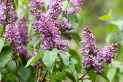 Lila Lilas, syringa o jeringuilla Flores púrpuras coloridos de las lilas con las hojas verdes Modelo floral Textura del fondo de  Fotografía de archivo
